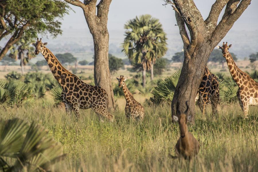 Murchison Falls National Park (30)