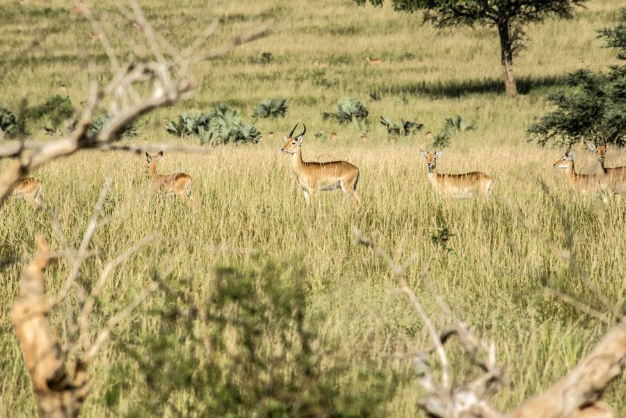 murchison-falls-uganda (111)