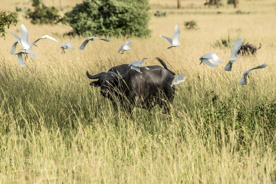 murchison-falls-uganda (118)