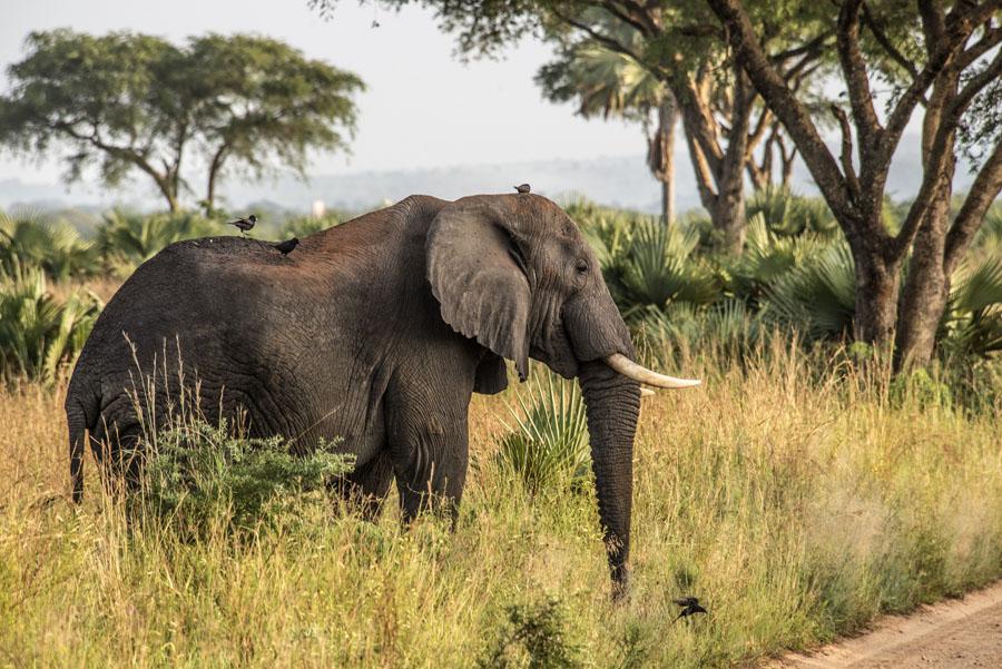 murchison-falls-uganda (129)