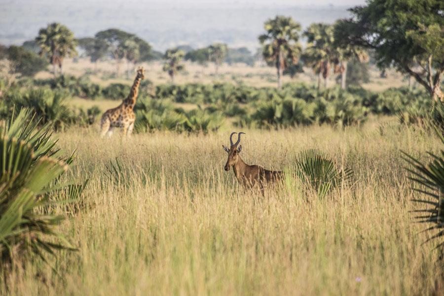 murchison-falls-uganda (19)
