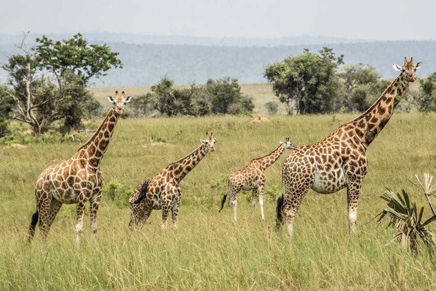 murchison-falls-uganda (205)