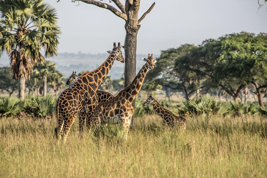 murchison-falls-uganda (28)