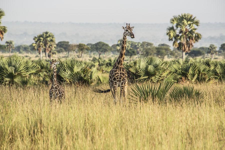 murchison-falls-uganda (32)