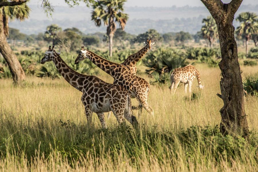 murchison-falls-uganda (33)