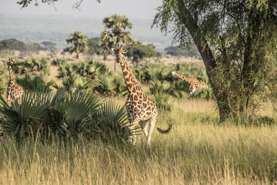 murchison-falls-uganda (35)