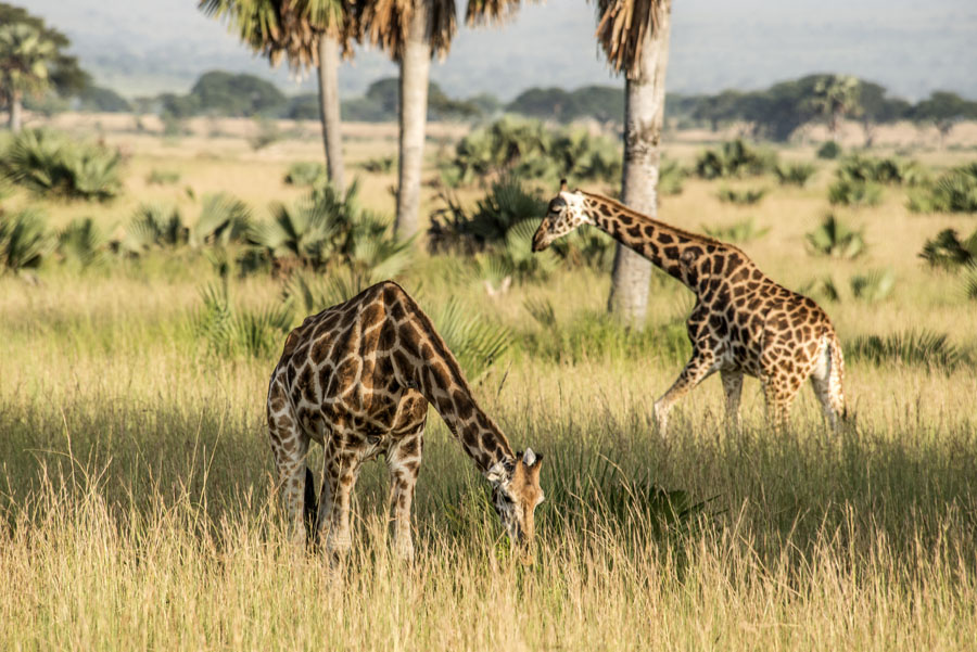 murchison-falls-uganda (36)