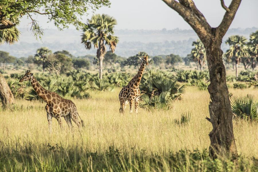 murchison-falls-uganda (38)