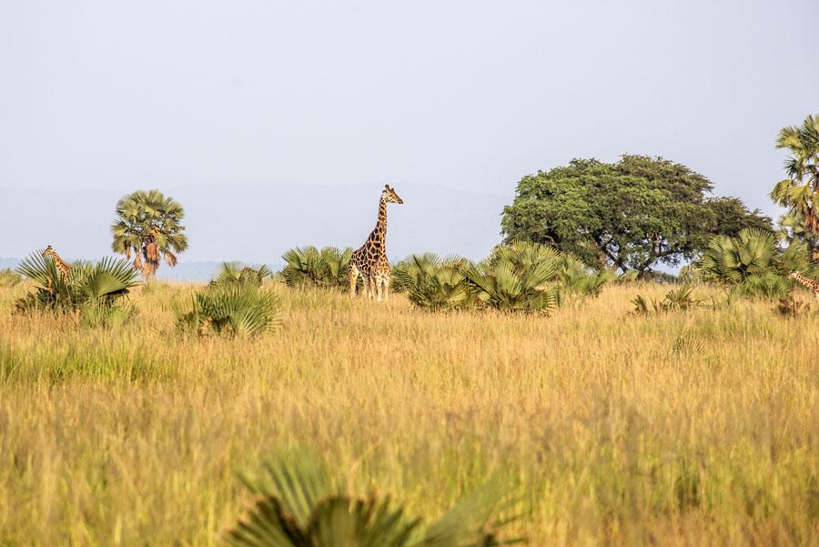 murchison-falls-uganda (4)