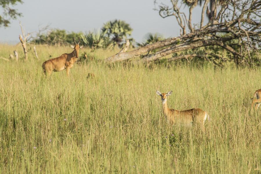 murchison-falls-uganda (48)